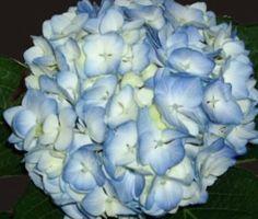 Blue Premium Hydrangea