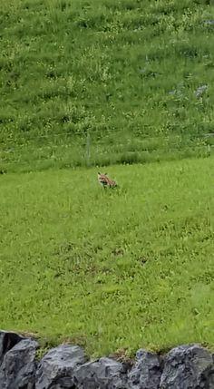 Schweiz - kleiner Fuchs, kein alltäglicher Anblick