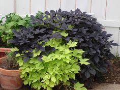 Ornamental sweet potato vines