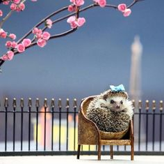 Madison, the pygmy hedgehog, during the filming of an advertisement for Lactofee. Hedgehogs are lactose intolerant via metro.co.uk :)