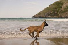 Belgian Malinois dog on the beach by Irantzu Arbaizagoitia on Guard Dog Breeds, Best Dog Breeds, Belgian Malinois Puppies, Belgium Malinois, Dog Whisperer, Belgian Shepherd, Military Dogs, Dog Wallpaper, Wild Dogs