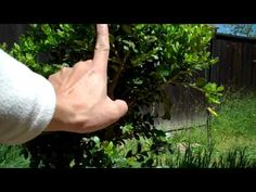 How to create a Boxwood bonsai Part 1 plant selection and Pruning.mp4 - YouTube