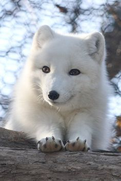 Белая полярная лисичка