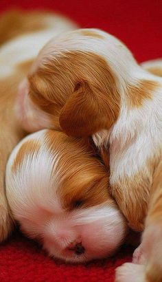 Cavalier Puppies Cuddling
