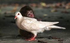 Acima, um macaco rhesus bebê e uma pomba dividiram a mesma jaula no centro de proteção animal de uma ilha chinesa, após serem encontrados por funcionários. Na jaula, eles dividiam alimentos e dormiam abraçados