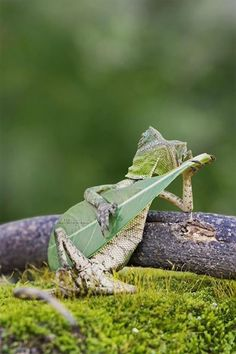 Indonesian photographer Aditya Permana captured an absolutely brilliant image of a bucolic forest dragon lying back on a twig and seemingly strumming a few chords on a guitar-shaped leaf. Permana a...