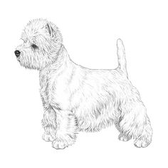 west-highland-white-terrier-800x800-fci085.png.06ee8a8bda11bfbc91c94feafdf6ab7d.png (800×800)