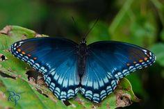 Nature: Blue Butterfly - Limenitis arthemis astyanax