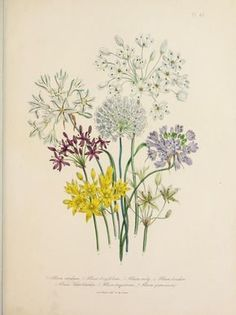 Flowers Allium (Garlic). Plate...
