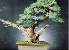 This Month in the Garden: A Brief Guide to Growing and Caring for Bonsai Trees Buy Bonsai Tree, Bonsai Tree Care, Bonsai Tree Types, Indoor Bonsai Tree, Mini Bonsai, Indoor Trees, Bonsai Trees, Tree Base, Bonsai Garden