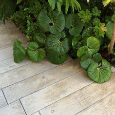 """Farfugium japonicum giganteum, parfois surnommée """"plante léopard"""" ombre humide, -15°C"""