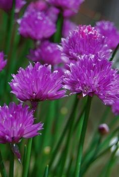 Purple Chives :: Unique & Pretty!