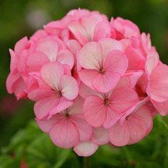 Geranium Divas Ice Rose - Annual Flower Seeds