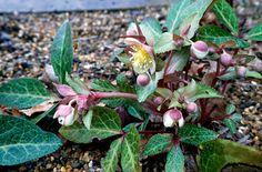 blue-grey hellebore. Helleborus lividus. Flowers in winter. h 0.1-0.5 , spread 0.1-0.5m