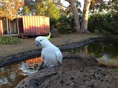 Cockatoos in Tasma Gardens, Daylesford - 117581955737217911092 - Picasa Web Albums www.TasmaHouse.com