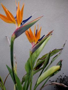 Bird of Paradise - sure hope mine blooms again this summer!!  Two years ago the freezes killed it down to the roots.