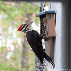 A Surprise Visitor! | http://betweennapsontheporch.net/pileated-woodpecker-visits-suet-feeder-in-georgia-backyard/