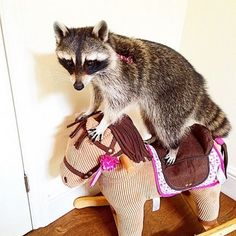 Melanie — the smartest raccoon in the world - @ludersre