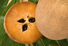 Manilkara zapota, commonly known as the sapodilla (/ˌsæpəˈdɪlə/),[2] is a long-lived, evergreen tree native to southern Mexico, Central America and the Caribbean.[3] An example natural occurrence is in coastal Yucatán in the Petenes mangroves ecoregion, where it is a subdominant plant species.[4] It was introduced to the Philippines during Spanish colonization. It is grown in large quantities in India, Thailand, Malaysia, Cambodia, Indonesia, Bangladesh and Mexico.