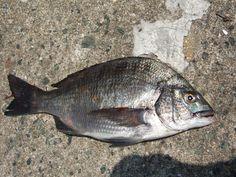 チヌ Fishing, Meat, Food, Essen, Meals, Yemek, Peaches, Pisces, Eten