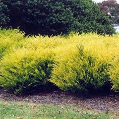 COLEONEMA PULCHRUM SUNSET GOLD Pink Breath of Heaven: (front yard) characteristics & care