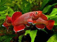 Nothobranchius korthausae (6) | Flickr - Photo Sharing!