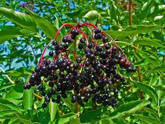 Sambucus Canadensis: The American Elderberry : The Bay View Compass Permaculture, Elderberry Plant, Elderberry Recipes, Herbal Remedies, Natural Remedies, Seed Storage, New Roots, Cream Flowers, Plants