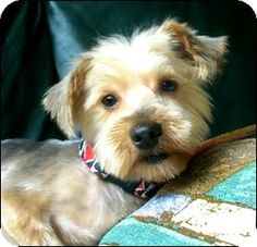 Whiting, NJ - Silky Terrier/Yorkie, Yorkshire Terrier Mix. Meet Galena, a dog for adoption. http://www.adoptapet.com/pet/11306061-whiting-new-jersey-silky-terrier-mix