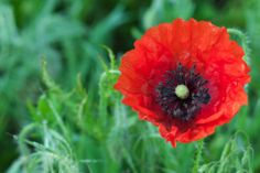 The poppy is one of the most widely used symbolic flower around the poppy flower mightylinksfo