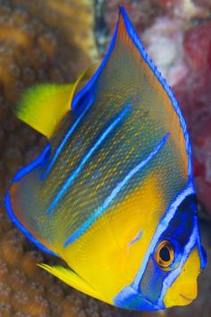 Treasures Of The Sea |Serafini Amelia| Underwater Creatures-blue angelfish