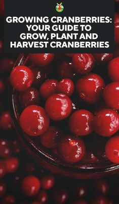 Growing Cranberries: How to Grow, Plant and Harvest Cranberries Fruit Trees In Containers, Fruit Plants, Fruit Garden, Edible Garden, Cranberry Tree, Cranberry Growing, Growing Fruit Trees, Fast Growing Plants, Growing Veggies