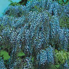 Wisteria floribunda, blue Japanese wisteria