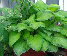 Blog.Sunset Hosta Farm.com: What Are Sun Tolerant Hostas? Sun Hostas, Hosta Plants, Shade Plants, Outdoor Topiary, Hosta Varieties, Hosta Gardens, Lawn Ornaments, Leaf Coloring