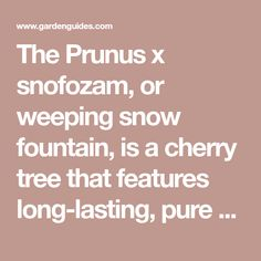 The Prunus x snofozam, or weeping snow fountain, is a cherry tree that features long-lasting, pure white blossoms that naturally droop to the ground. The tree is slow-growing and small, which makes it perfect for smaller yards or gardens. The weeping snow fountain cherry tree is very drought resistant and hardy to ... Deciduous Trees, Flowering Trees, Tree Stakes, Weeping Cherry Tree, Organic Mulch, Insect Pest, Soil Layers, Prunus, Drought Tolerant