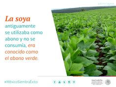 La soya antiguamente se utilizaba como  abono y no se consumía, era conocido como el abono verde.