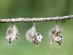 Baby Opossum Hanging from Branch Photographic Print by Frank Lukasseck at AllPosters.com