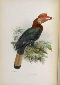 Walden's Hornbill      ...