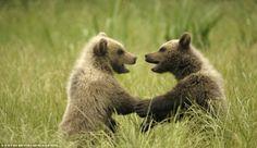 chatting bears