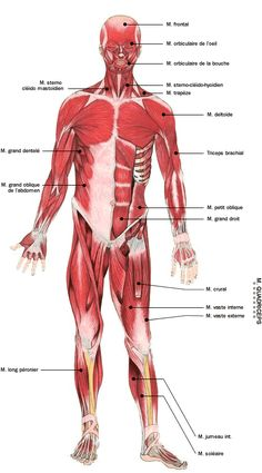 Myofasciite A Macrophages Accupuncture, Medical Anatomy, Human Anatomy And Physiology, Muscle Anatomy, Brain Gym, Nursing Notes, Yoga At Home, Muscle Groups, Human Body