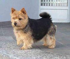 Norwich Terrier, looks like a little bear with pointy ears!
