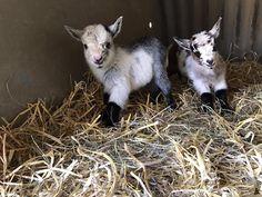Adorable Pygmy Goat Kids born at Farmer Palmer's Farm Park in Feb 2017 | Poole | Dorset | Kids Days Out