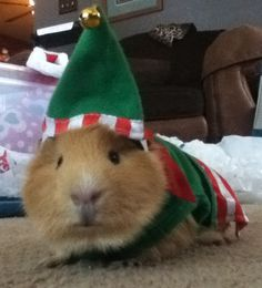 Spice in his Little elf outfit