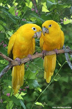 ~~Golden conure or golden parakeet(Guaruba guarouba) by AnimalExplorer~~ parrot… Tropical Birds, Exotic Birds, Colorful Birds, Yellow Birds, Exotic Animals, Kinds Of Birds, All Birds, Love Birds, Pretty Birds