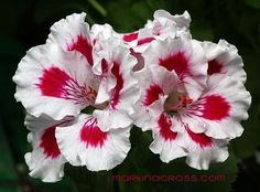 How to grow a Geranium plant care guide. Learn to identify, water, feed, and propagate a flowering geranium plant that grows best in very bright light. Geranium Care, Geranium Plant, Growing Geraniums, Rose Plant Care, Ornamental Cabbage, Plant Diseases, Planting Roses, Outdoor Plants, Exotic Flowers
