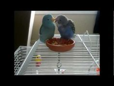 Budgie meets Parrotlet-so cite how they take care of each other!
