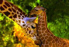 Giraffes (:  http://skyandstars.tumblr.com/