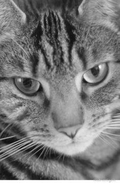 Tabby Cat in Black and White