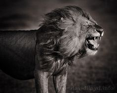 Wild things: Stunning black and white pictures of animals in Africa David Lloyd/Barcroft Media. A lion embraces the wind. Wild things: Stunning black and white pictures of animals in Africa. Beautiful Creatures, Animals Beautiful, Cute Animals, Wild Animals, Majestic Animals, Wildlife Photography, Animal Photography, Inspiring Photography, White Photography