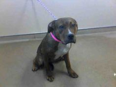 COOKIE-ID#A686502    My name is COOKIE.    I am a spayed female, brown brindle Pit Bull Terrier.    The shelter staff think I am about 1 year and 1 month old.    I have been at the shelter since Nov 28, 2012.