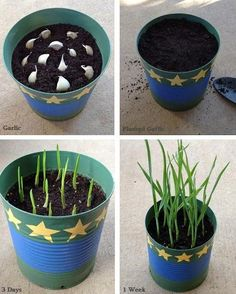 Growing Garlic from Table Scraps! - 1FrugalMom
